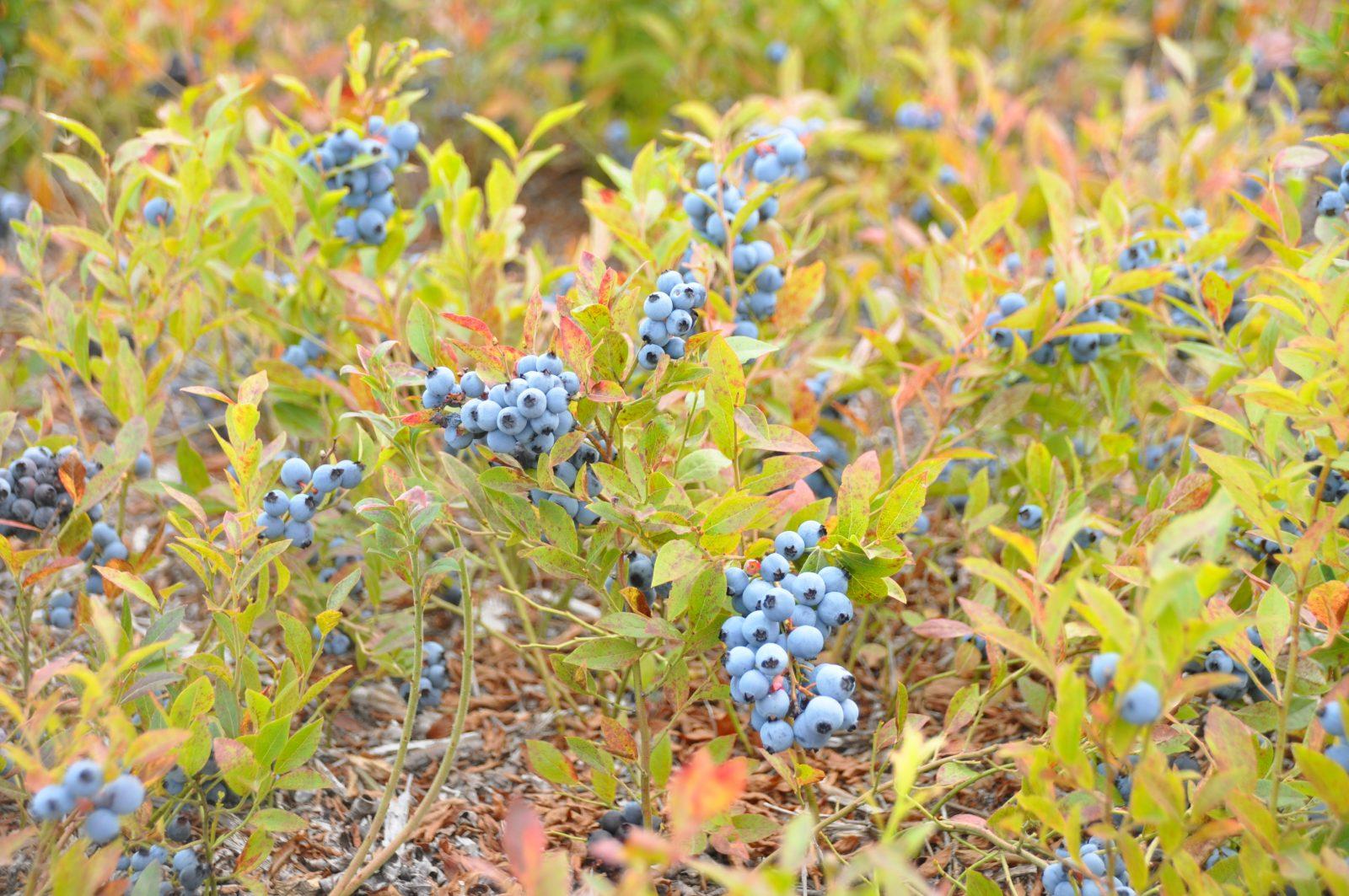 Récolte de bleuets: La pire année depuis longtemps