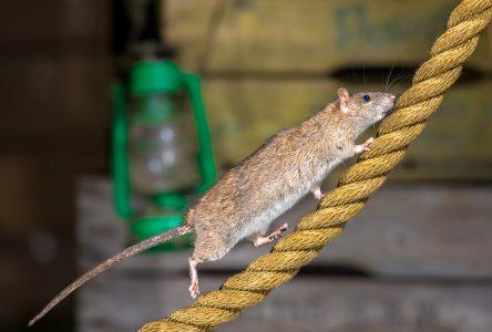 Comment éviter l'invasion de rats dans votre maison ?